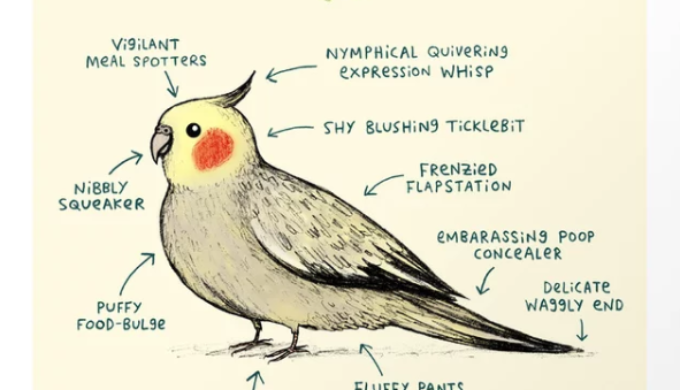 All About Cockatiels