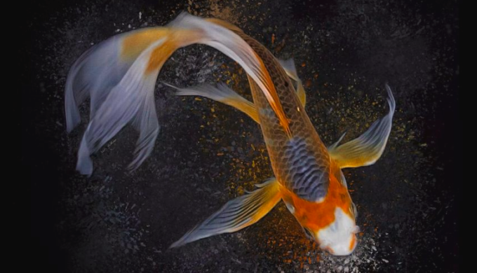 Facts About Koi Fish