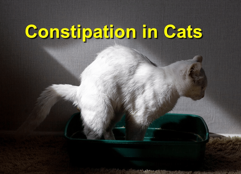 Cat Constipation