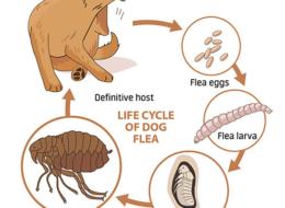 What Do Flea Eggs Look Like