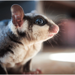 how to take care of a sugar glider