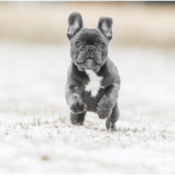 types of French bulldogs