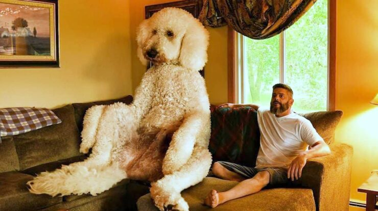 Facts About Internets Favorite Giant Dogs Juji And Jasper