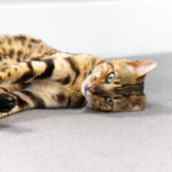 Cat Anxiety Medication