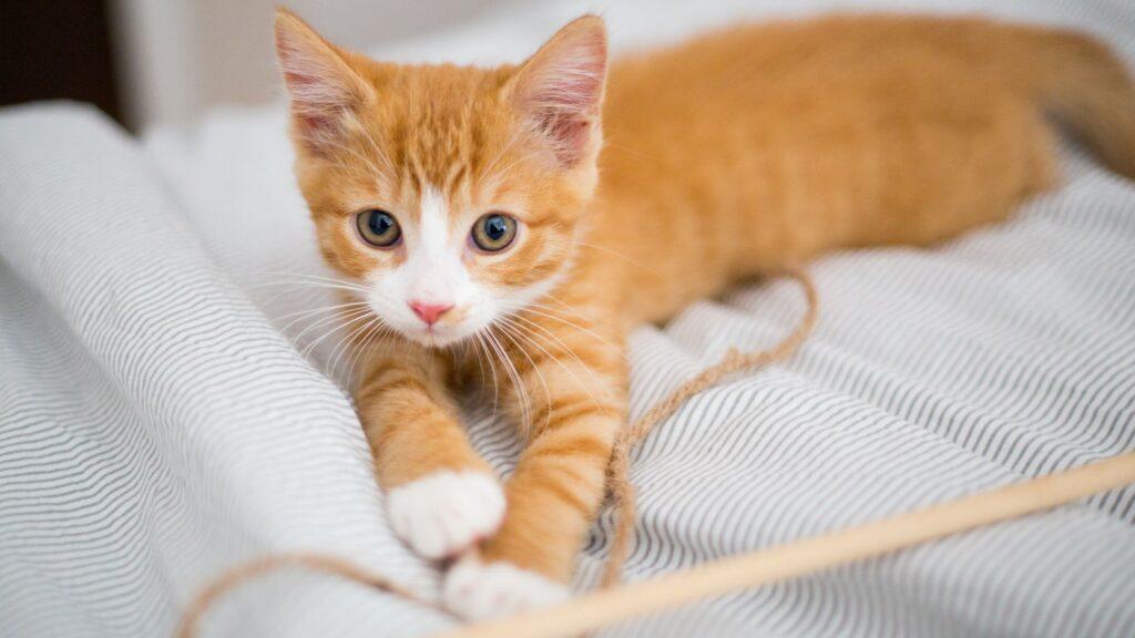 Kitten Cat Stage